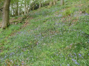 Bluebells in Rydal Woods, a short walk from Brockstone Cottage